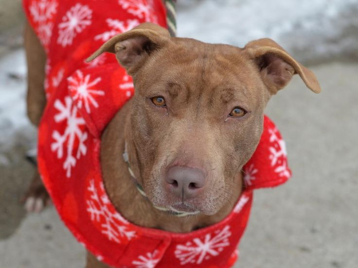 TO BE DESTROYED - 02/15/15 TO BE DESTROYED - 02/14/15 Brooklyn Center -P My name is RUE. My Animal ID # is A1026610. I am a female brown and white pit bull. The shelter thinks I am about 2 YEARS old. I came in the shelter as a STRAY on 01/29/2015 from NY 11411, owner surrender reason stated was STRAY. https://www.facebook.com/Urgentdeathrowdogs/photos/a.611290788883804.1073741851.152876678058553/958405014172378/?type=3&theater