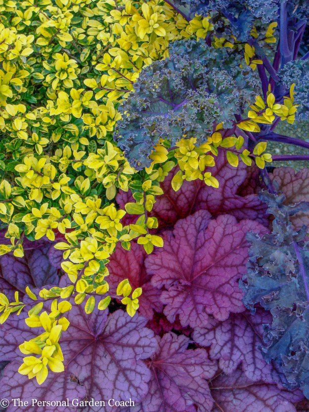 Ilex c. 'Drops of Gold', 'Redbor' Kale, Heuchera 'Berry Smoothie'
