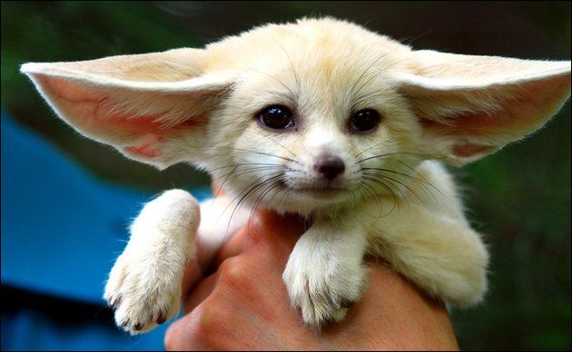 Fennec fox: Cute Animal, Gremlins, Dogs, Animal Photography, Pet, Baby Animal, Ears, Baby Foxes, Fennec Foxes