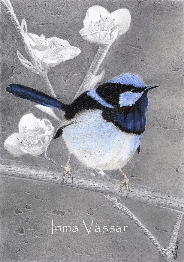 Little Blue Wren Pencil & Acrylic Paint Drawing / Painting by Inma Vassar