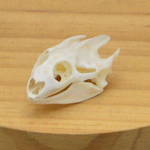 Turtle skull Crafts Jewlery,Educational Taxidermy,Oddity Craft Art