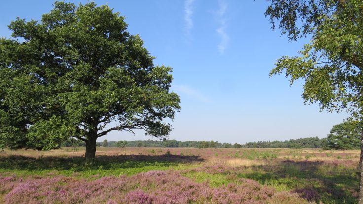 2015-08-23 De Tongerense Heide is een mooi heidelandschap