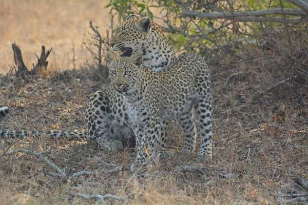 Kwatile with her cub (daughter), late 2014. Photo by Carine Lacombe.