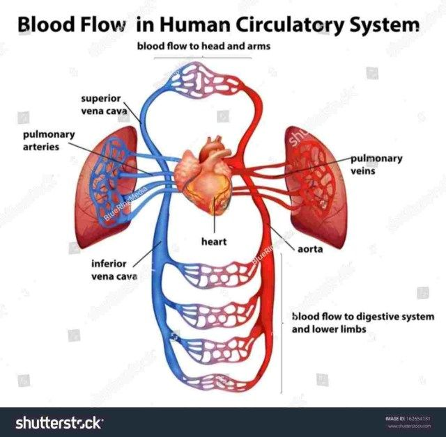 Labeled Circulatory System Labeled Circulatory System