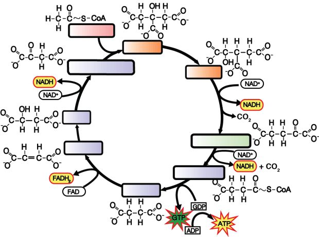 25 best The Krebs Cycle images on Pinterest