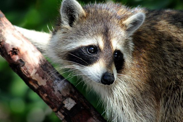 racoon by curzonj on Flickr.