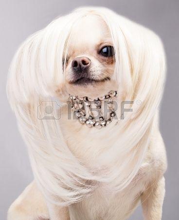 Chihuahua cute очаровательны собака Чиуауа с аксессуарами Фото со стока