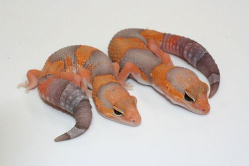 Albino African Fat Tailed Geckos (Hemitheconyx caudicinctus)