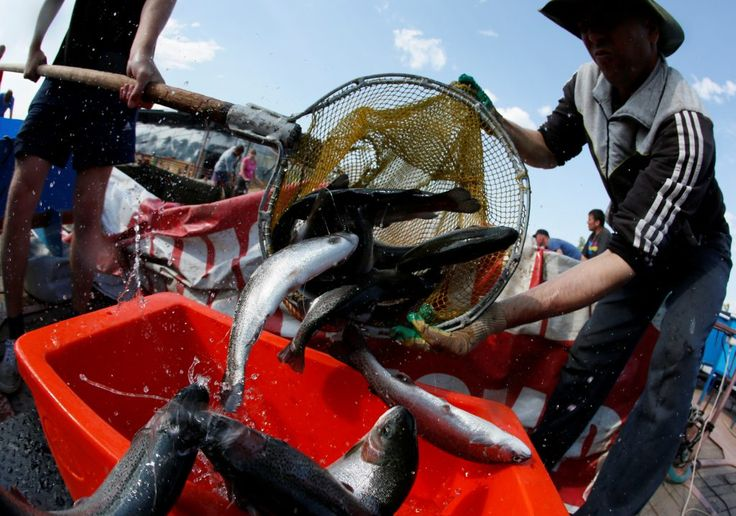 The future of food looks pretty fishy  Employees unload trout from a pool before weighing at a fish farm of the Maltat fish-breeding and fish-canning complex on the Yenisei River in the village of Primorsk in Krasnoyarsk region, Siberia, Russia, June 21, 2016. REUTERS/Ilya Naymushin - RTX2HM7E