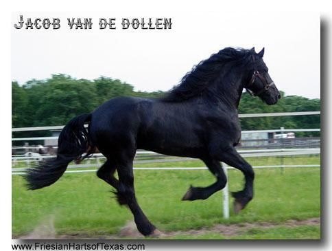 friesians in texas, friesian stallions for cross breeding, friesian harts of texas, jacob the majestic