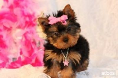 My dream puppy!: Teacup Pugs, Princesses Pink, Teacup Yorkie, Yorkie Puppys, Pugs Puppys, Cute Pictures, Dream Puppys, Future Dogs, Female Yorkie