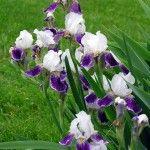 Japanese iris-flowers acid soil