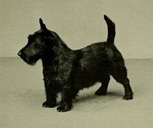 The Scottish Terrier (also known as the Aberdeen Terrier), popularly called the Scottie, is a breed of dog. Initially one of the highland breeds of Terrier that were grouped under the name of Skye Terrier, it is one of five breeds of terrier that originated in Scotland, the other four being the modern Skye, Cairn, Dandie Dinmont, and West Highland White Terrier. They are an independent and rugged breed with a wiry outer coat and a soft dense undercoat.