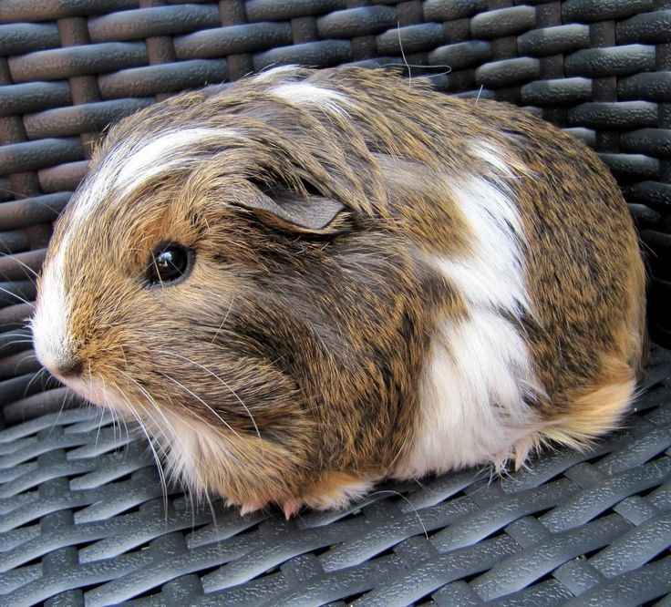I have two favourite guinea pig breeds: Texels (Curlies) and Sheba Mini Yaks (Fluffies). We work with a lot of other breeds here at the ca...