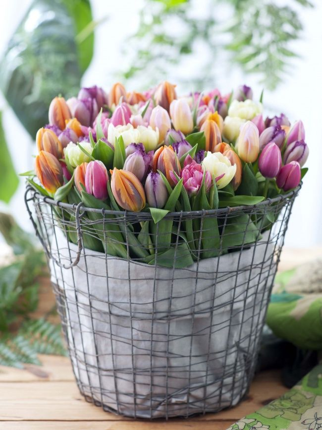 Spring tulips in wire basket.
