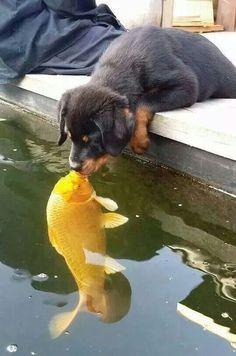 Esta imagen presenta: Significante: Perro mirando a un pez Significado: Quiere entrar al agua, se lo quiere comer Signo: Visual