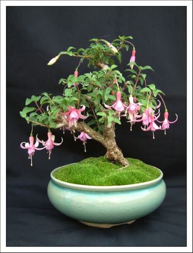 Bonsai Garden - Home Of Fuchsia Bonsai By Kath Van Hanegem