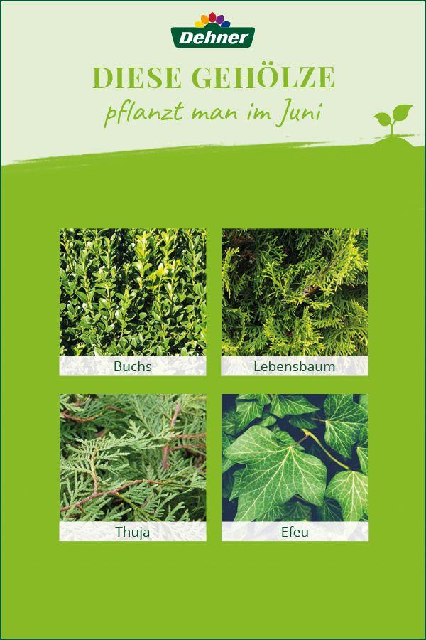 Dieses Geholze Pflanzt Man Im Juni Pflanzen Lebensbaum Thuja Thuja