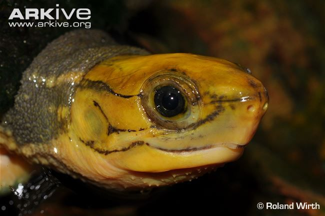 199 Best Types Of Turtles Images On Pinterest Reptiles