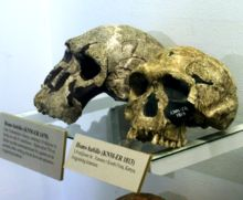 Homo habilis is a species of the tribe Hominini, during the Gelasian and early Calabrian stages of the Pleistocene period, between roughly 2.8 and 1.5 million years ago. In its appearance and morphology, H. habilis is the least similar to modern humans of all species in the genus Homo...