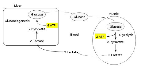 TJ . The Cori cycle (also known as the Lactic acid cycle), named after its discoverers, Carl Ferdinand Cori and Gerty Cori , refers to the metabolic pathway in which lactate produced by anaerobic glycolysis in the muscles moves to the liver and is converted to glucose, which then returns to the muscles and is metabolized