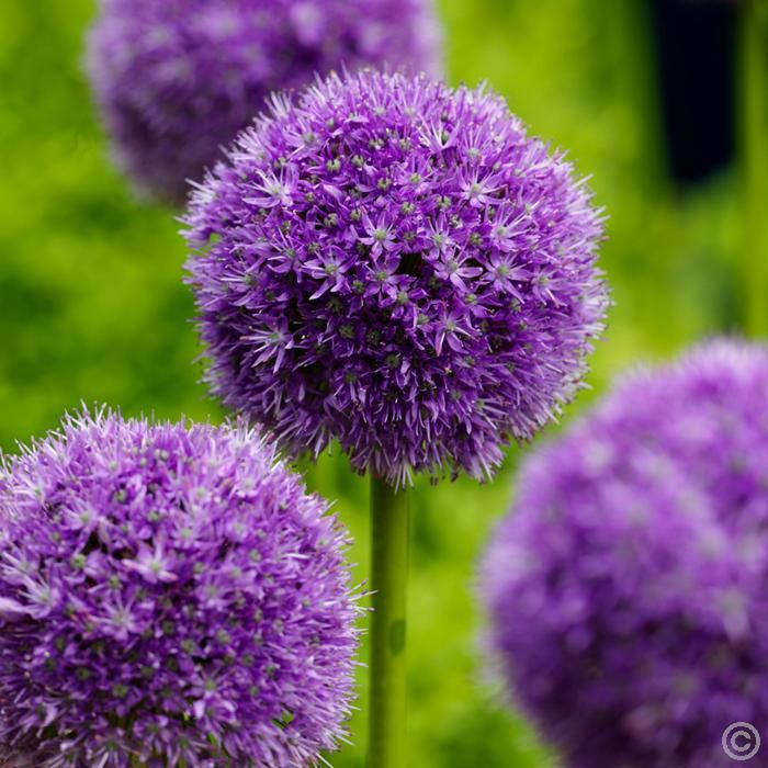 Zierlauch His Excellency Allium His Excellency
