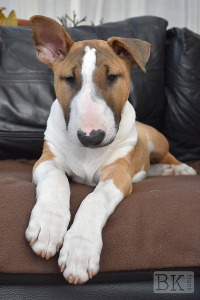 Archie, English Bull Terrier puppy 4mths old. Read more here... http://www.bkfrank.co.uk/blog/archieupdate-at-16wks4mths-old