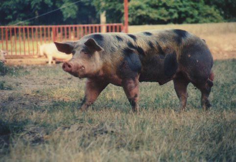 Pin auf Pigs are beautiful!