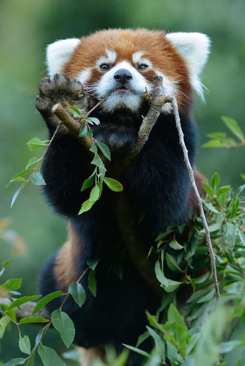 Hello! In China, red pandas and giant pandas share the same habitat: bamboo forests. (photo by Mike Wilson)