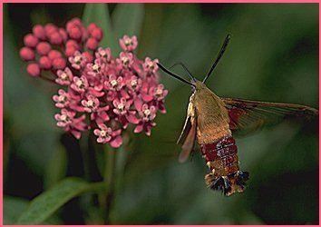 A hummingbird moth.  An interesting little creature that's been visiting my flower garden recently.
