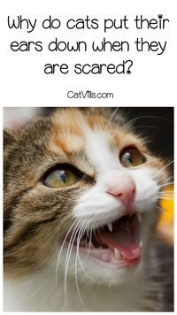 Why do cats put their ears down when they are scared? Find out the answer & get cat health tips to help ease your scared kitty!