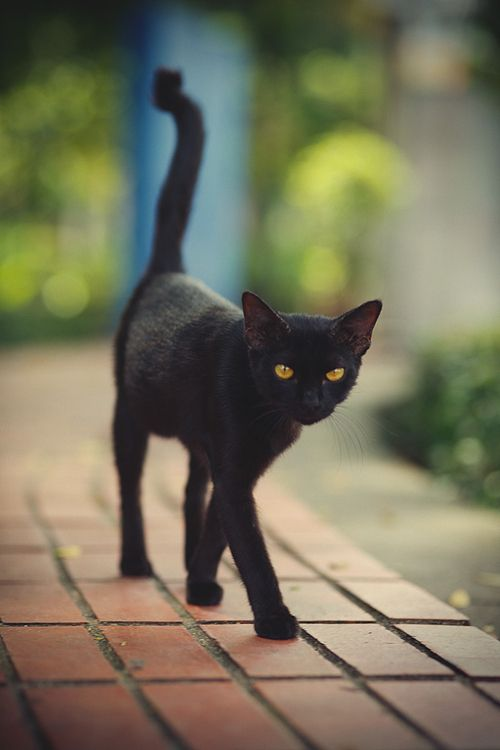 Slinky black cat.  Looks like the cat in Coraline.