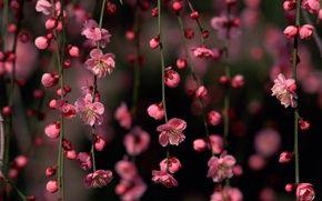 Обои цветы, ветки, сакура, бутоны