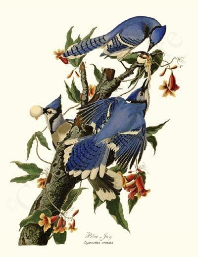 Blue Jay Bird Print 8x10 Print