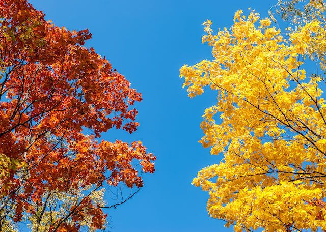 Dueling trees. The colorful autumn spectacle. Photo by Vic Istomin on EyeEm