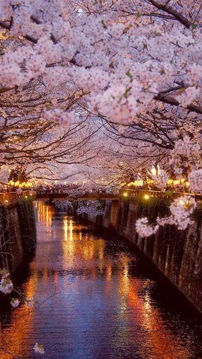 """Foto: Hanami Hanami (花見 lit. """"ver flores""""?) es la tradición japonesa de observar la belleza de las flores, pero por lo general se asocia esta palabra al período en que florecen los cerezos y en el que los japoneses acuden en masa a parques y jardines a contemplar sus flores (sakura). De finales de marzo a principios de abril, los cerezos florecen por todo Japón, de sur a norte acorde a los distintos climas existentes en las diversas regiones. Los primeros cerezos del año florecen en las…"""
