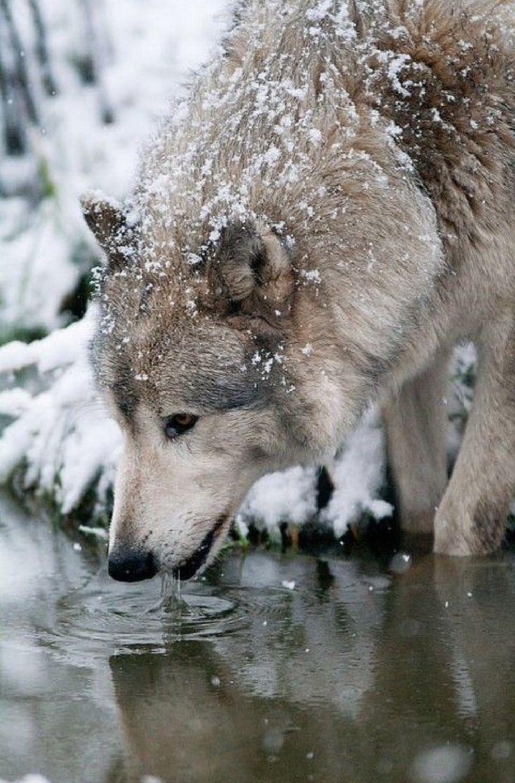 Картинку для, анимация волков в картинках