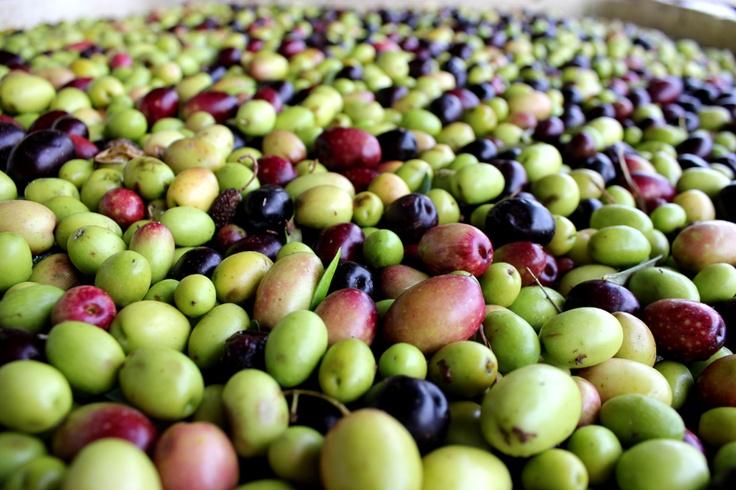 Olives - Willow Creek Olive Estate