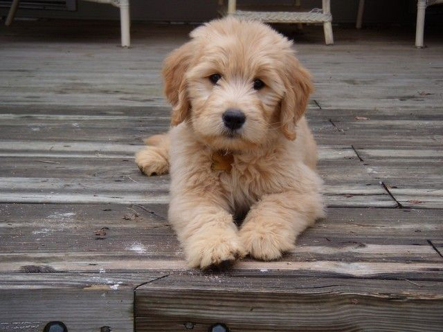 Goldendoodle. Dream dog!