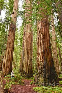 Tree Photograph - Scale - The Beautiful And Massive Giant Redwoods Sequoia Sempervirens In Redwood National Park. by Jamie Pham