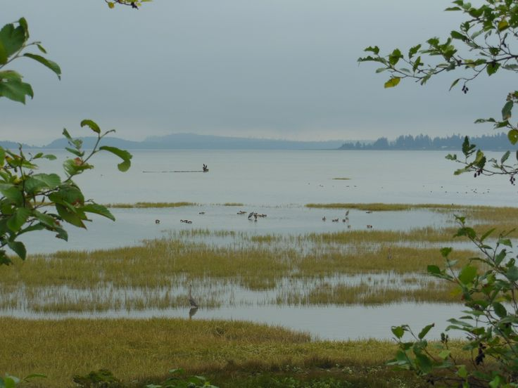Herons and other birds in the estuary flowing into Comox Bay.