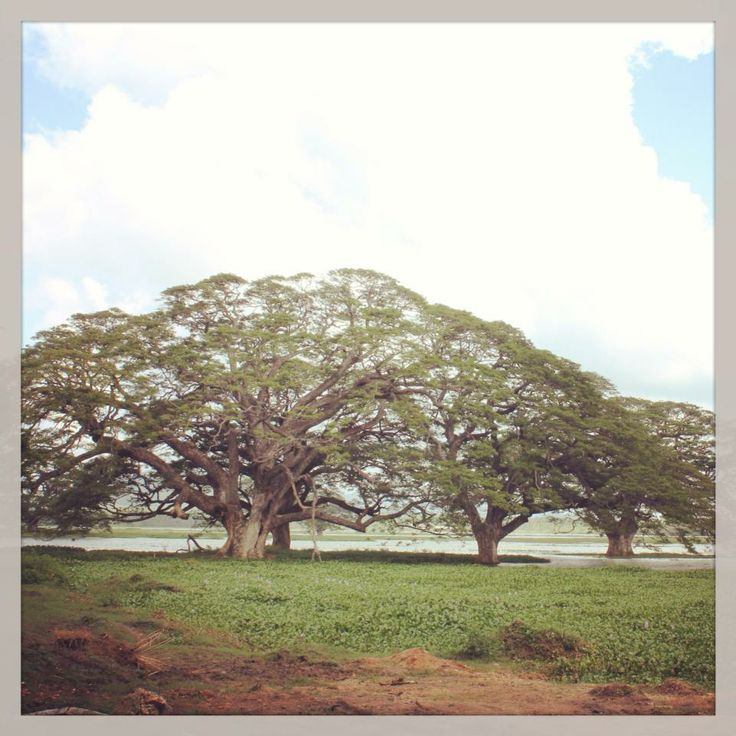 The massive and well-known rain trees of Tissaharama - the gateway town for the Yala National Park safari.