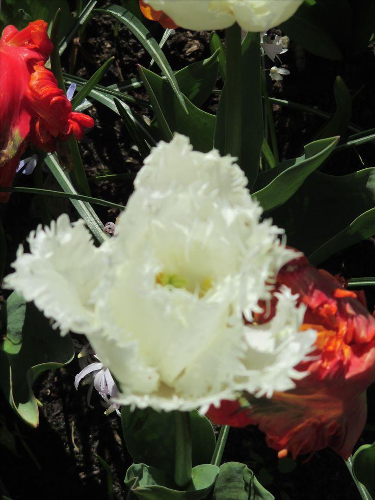 Keukenhof - das ist Frühling pur. Ein tolles Bild, wenn die Blume aufgeht.
