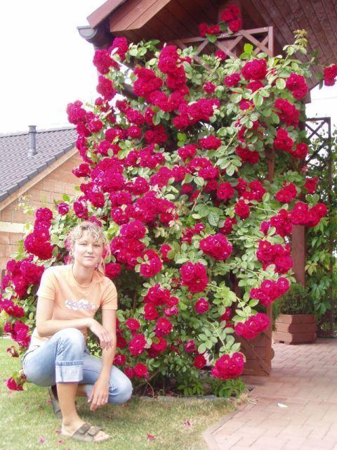 Letošní květy popínavé růže