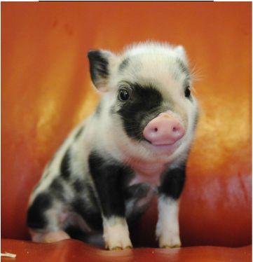 Makes me smile :-) #piglet #pig #animals