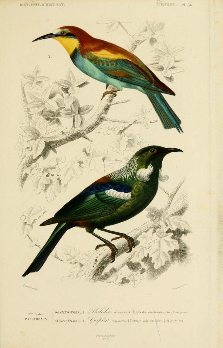 gravures couleur d'oiseaux - Gravure oiseau 0191 philedon a cravatte - philedon circinnatus - passereau - Gravures, illustrations, dessins, images