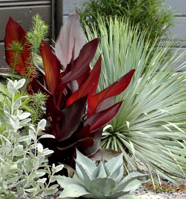 Left to right is Brachyglottis greyi (used to be known as Senecio greyi), Amsonia hubrichtii, Canna x generalis 'Tropical Bronze Scarlet,' Agave ovatifolia, Yucca rostrata, Rhamnus frangula (Fine Line Buckthorn).