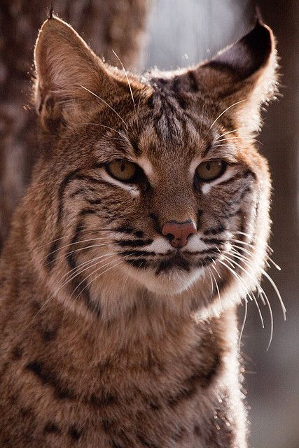 The bobcat (Lynx rufus) is a North American mammal of the cat family Felidae. There are 12 subspecies. Weights range from 8 to 40 lbs.