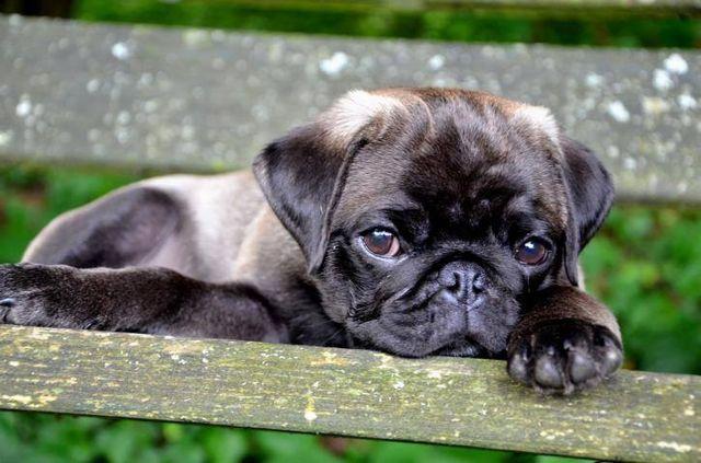 Silver pug puppy #pugs