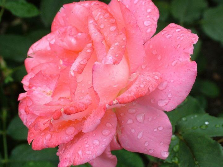 Rose June birth month flower 1920x1441px Pixabay
